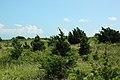 Juniperus virginiana Washburn Island.jpg