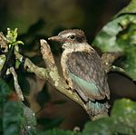 Juvenile Brown-hooded Kingfisher (Halcyon albiventris).jpg