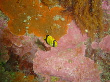 Juvenile Cape knifejaw at Cow and calf DSC08944.JPG