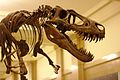 Juvenile T. Rex at Carnegie Museum of Natural History, 2013-12-14.jpg
