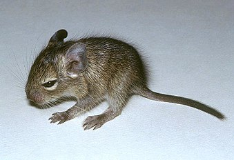 Juvenile of Octodon degus.jpg