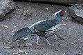 Kalij Pheasant (46696794784).jpg