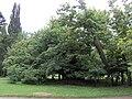Kamenice nad Lipou, zámecký park, památná lípa (01).jpg