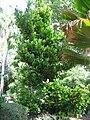 Kampong - Garcinia spicata 1.jpg