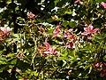 Kanchan tree Bauhinia variegata by Dr. Raju Kasambe DSCN0979 (5).jpg