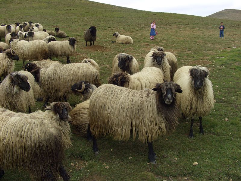 File:Karayaka-Sheep-1.jpg