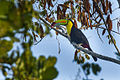 Keel-billed Toucan - Panama MG 2238 (16408764895).jpg