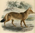 Keulemans north african jackal.png