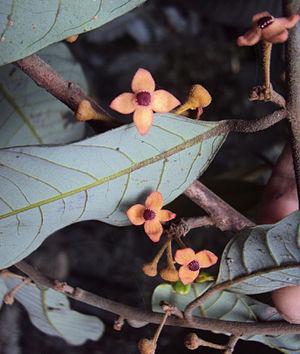 Knema attenuata - Flowers