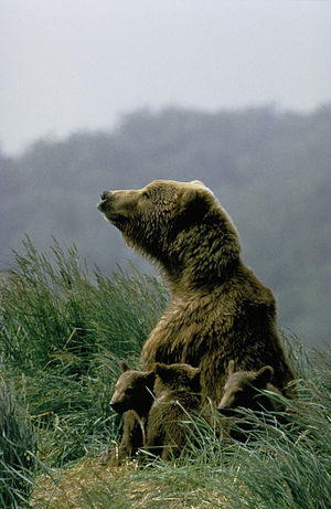 Kodiak bear - Mother bear with cubs