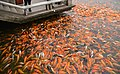 Koi Feeding in Mt Qingxiu Nanning.JPG