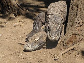 Komodo dragon - Komodo dragons mating