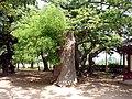 Korea-Gyeongju-False Acacia 1200+ yrs old 3735-06.jpg