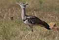 Kori bustard, Ardeotis kori, at Pilanesberg National Park, Northwest Province, South Africa (28439487580).jpg