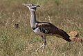 Kori bustard, Ardeotis kori, at Pilanesberg National Park, Northwest Province, South Africa (28439487580).jpg