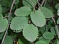 Korina 2010-09-08 Amelanchier alnifolia.jpg