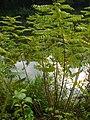 Korina 2010-10-13 Amorpha fruticosa 1.jpg
