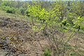 Korina 2014-04-25 Robinia pseudoacacia 2.jpg