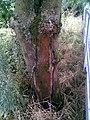 Kov zarostlý v kmeni stromu.jpg
