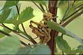 Kraussaria angulifera copulating.jpg