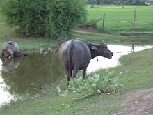 Water buffalo near a pond