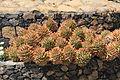 La Palma - Los Llanos de Aridane - Las Manchas - Plaza de Glorieta - Aloe perfoliata 03 ies.jpg
