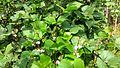 Lablab purpureus plant & flowers 19.jpg