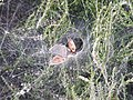 Labyrinth Spider web, Hindhead Common 02.jpg