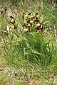 Lady's-Slipper Orchid - Cypripedium calceolus - panoramio (56).jpg