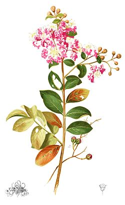 Lagerstroemia indica Plate from book