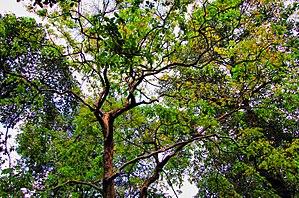 Sangu Matamuhari - Jarul trees Lagerstroemia speciosa