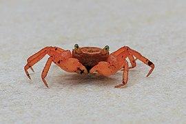 Lahad-Datu Sabah Mount-Silam-Red-Crab-Geosesarma-aurantium-02.jpg