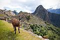 Lama op Machu Pichu, -21 juni 2011 a.jpg