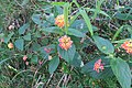 Lantana camara flowerhead DC1.jpg