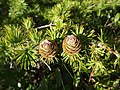 Larix kaempferi cones - panoramio (1).jpg