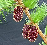 Larix occidentalis1.jpg