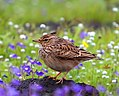 Lark amidst flowers (cropped).jpg