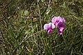 Lathyrus tuberosus, Besançon - img 27025.jpg