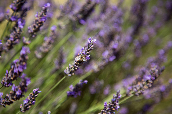Lavender & bee outside Aix-en-Provence.jpg