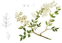 Lawsonia inermis Blanco1.108-cropped