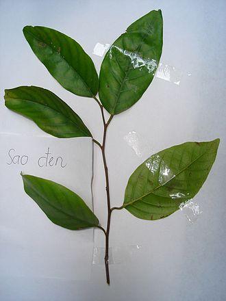 Hopea odorata - Leaves of Hopea odorata