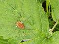 Leeuwenhorstbos - Voorjaarshooiwagen (Rilaena triangularis) v1.jpg
