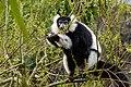Lemur (27618736978).jpg