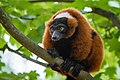 Lemur (36568601696).jpg