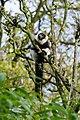 Lemur (38492958006).jpg