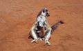 Lemur catta22.tif