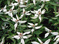 Leontopodium japonicum.JPG