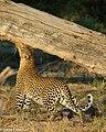 Leopard okavango delta.jpg