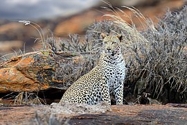 Leopard on mount in Tsavo East National Park.jpg