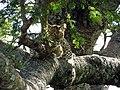 Leopard tree Serengeti-2.jpg